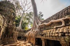 Arbre dans les ventres Phrom, Angkor Vat, Cambodge Photographie stock libre de droits