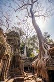 Arbre dans les ventres Phrom, Angkor Vat, Cambodge Image stock