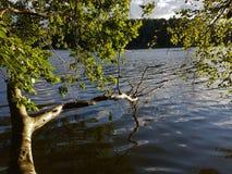 Arbre dans un lac aux Pays-Bas Images libres de droits