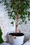 Arbre dans un pot à la maison dans l'intérieur Usines à la maison Images stock