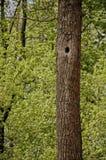 Arbre dans une forêt avec une cavité photographie stock libre de droits