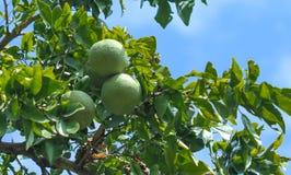 Arbre de Bael avec des fruits Image libre de droits