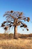 Arbre de Baoba Photos libres de droits