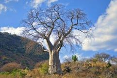 Arbre de Baoba Photo libre de droits