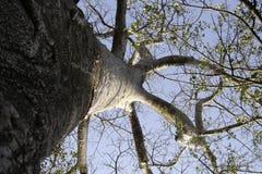 Arbre 01 de baobab Images libres de droits