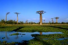 Arbre de baobab Image stock
