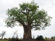 Arbre de baobab dans la pleine taille avec le fond blanc de nuage Image libre de droits