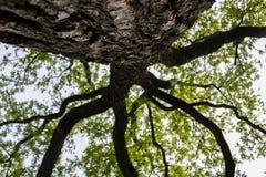 Arbre de beckground de nature grand vieil image stock