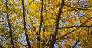 Arbre de biloba de Ginkgo avec les feuilles jaunes à l'automne image stock