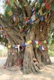 Arbre de Bodhi dans Lumbini (le lieu de naissance de Bouddha) Photo libre de droits