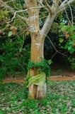 Arbre de Bodhi enveloppé avec la soie thaïe. Surat, Thaïlande. Images libres de droits