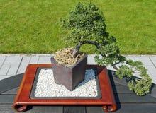 Arbre de bonsaïs Photos stock
