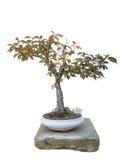 Arbre de bonsaïs Photographie stock libre de droits