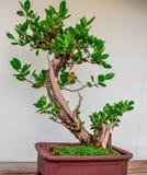 Arbre de bonsaïs de Buttonwood photo stock