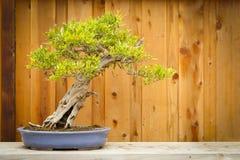 Arbre de bonsaïs de grenade contre la frontière de sécurité en bois Images stock