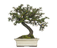 Arbre de bonsaïs de horizontalis de Cotoneaster, d'isolement Photographie stock