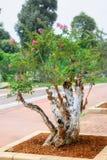 Arbre de bonsaïs de myrte de crêpe Images stock