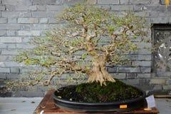 Arbre de bonsaïs sur l'affichage Photographie stock libre de droits