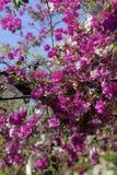 Arbre de bouganvillée en fleur Images stock