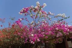 Arbre de bouganvillée en fleur Photo stock