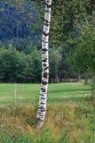 arbre de bouleau Photo libre de droits