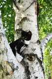 Arbre de bouleau avec un chat Photos stock