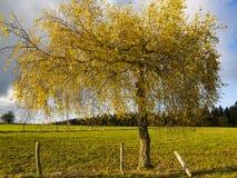 Arbre de bouleau coloré bel par or de novembre photographie stock