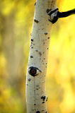 Arbre de bouleau d'Aspen d'automne Images libres de droits