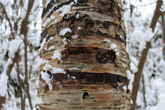 Arbre de bouleau dans la neige Photos stock