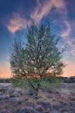 Arbre de bouleau dans une lande au crépuscule coloré Regte Heide, Pays-Bas photographie stock