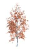 arbre de bouleau du rendu 3D sur le blanc Photos libres de droits