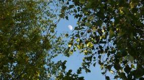 Arbre de bouleau et aubépine Beith et Huathe sous une lune de ressort en Angleterre 2 photo stock