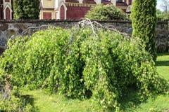 Arbre de bouleau inversé, fond de jardin photo libre de droits