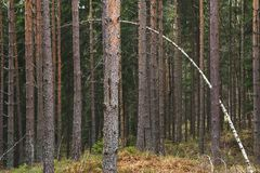 Arbre de bouleau mince se pliant plus d'et se tenant dans une forêt de vieux pins images libres de droits