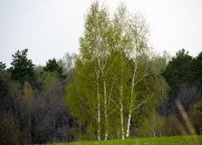 Arbre de bouleau obtenant vert à l'heure le printemps Russie moyenne images libres de droits