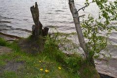 arbre de bouleau près du lac Photographie stock libre de droits