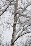 Arbre de bouleau sous la neige Photos libres de droits