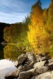 Arbre de bouleau sur l'eau en automne, Norvège Photos stock