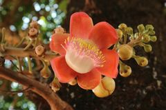 Arbre de boulet de canon et fleur orange fleurissant dans le temple Photos stock