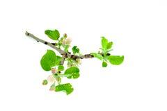 arbre de branchement de pomme Photo libre de droits