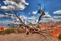 Arbre de Bristlecone chez Bryce Canyon photographie stock libre de droits