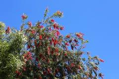 Arbre de brosse de bouteille avec les fleurs rouges Image libre de droits