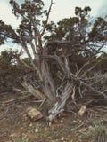 Arbre de cèdre balayé par le vent Photographie stock libre de droits