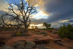 Arbre de cèdre dans le désert image libre de droits