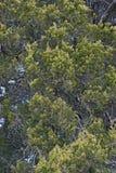 Arbre de cèdre rouge Photographie stock libre de droits