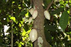 Arbre de cacao photos libres de droits