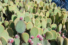 Arbre de cactus à l'été Photo libre de droits