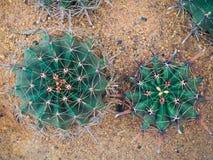 Arbre de cactus de vue supérieure Photographie stock