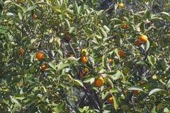 Arbre de Calamondin avec des fruits Photo stock