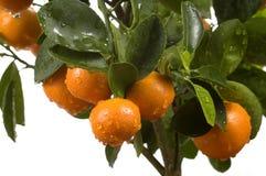Arbre de Calamondin avec le fruit et les lames Photographie stock